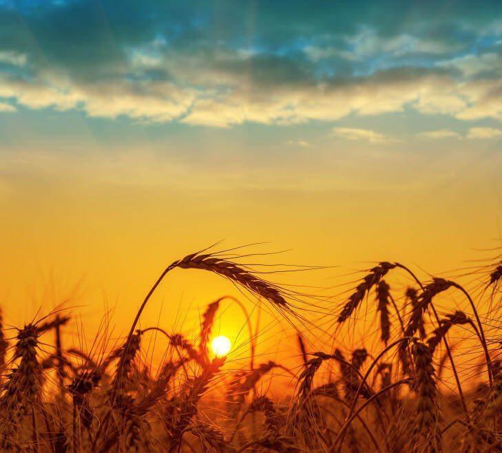 wheat field - Jesus parable