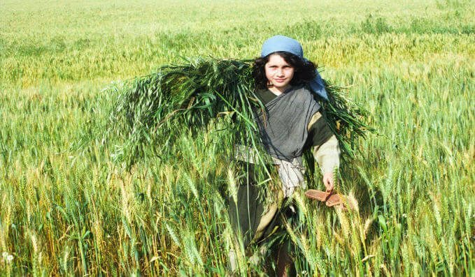 Young boy in field harvesting wheat