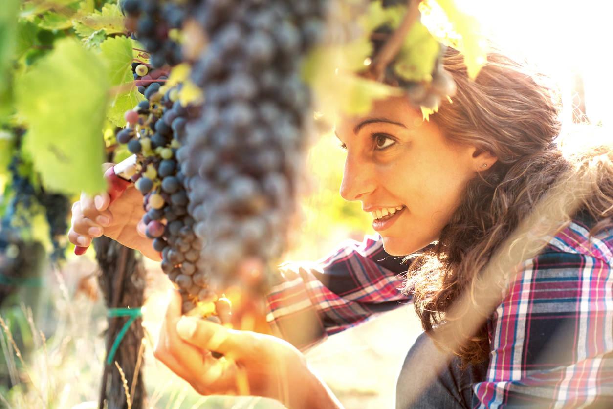 Woman in Vineyard Harvesting Grapes